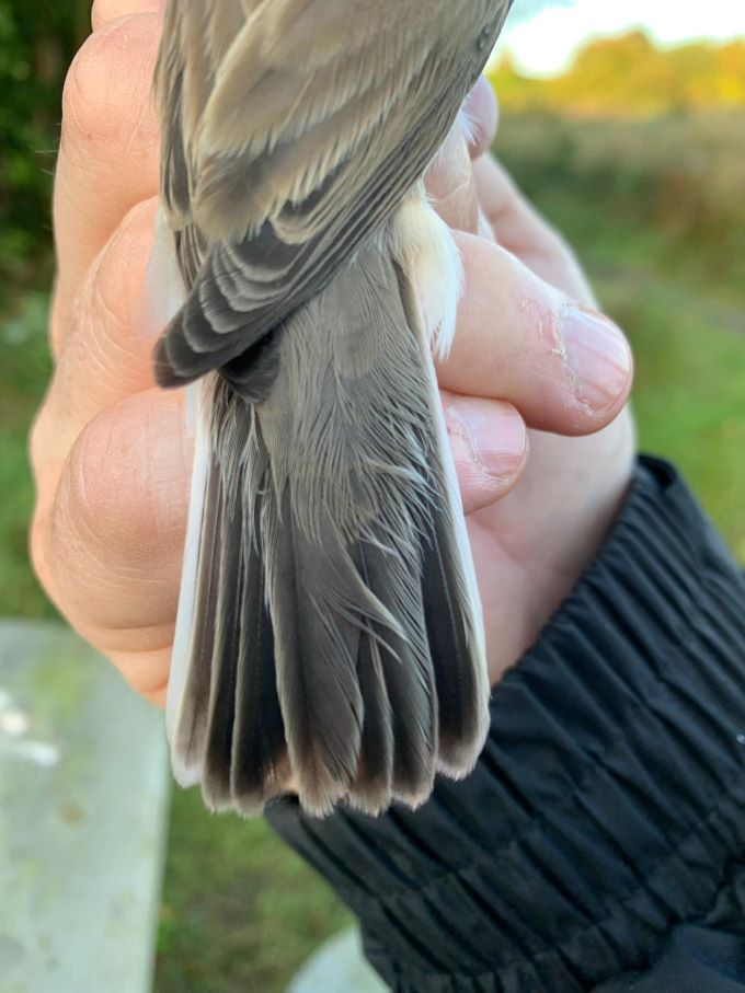 Adult Lesser Whitethroat - 01.09.19 - Photograph by Nick Barlow